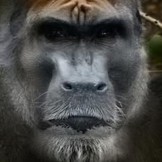 Bigfoot Type 3. Gugwe.