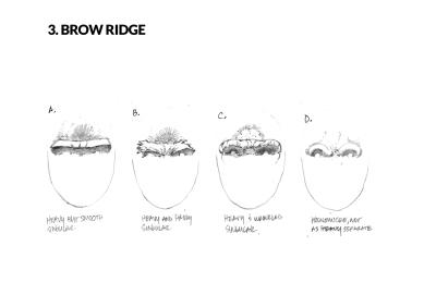 bf-face-guide-_0002_3. Brow Ridge
