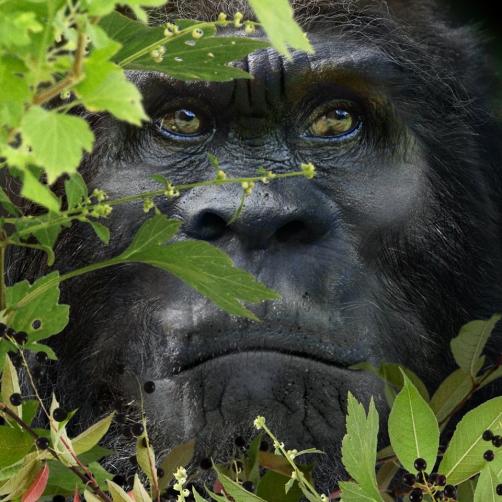 Bigfoot Face 67